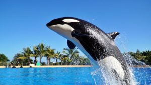 Killer whale jumping at Loro Park in Tenerife