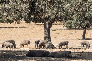 Iberico pigs