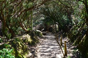 Path in the forest of Anaga Tenerife