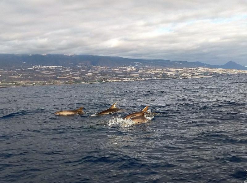 Bottleneck dolphins in Tenerife