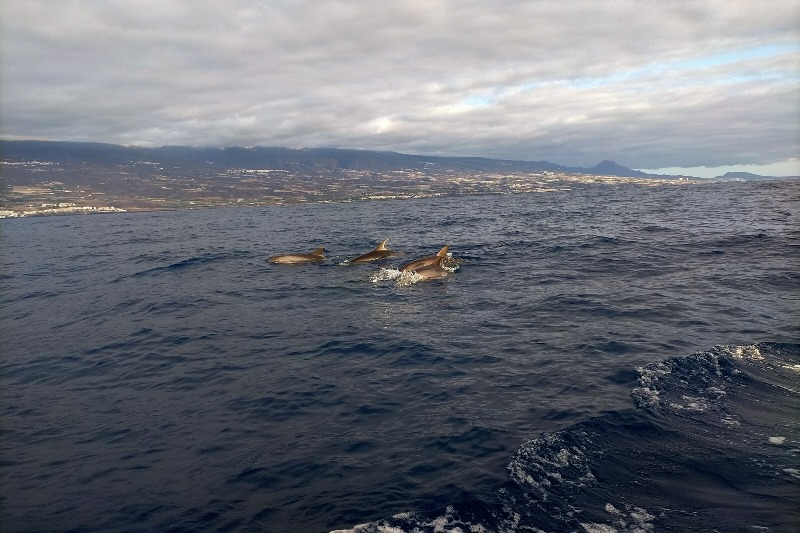 Dolphins in the area of Los Gigsantes in Tenerife