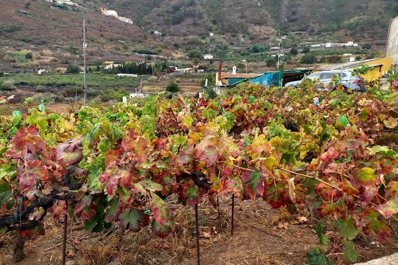 Vineyard in Tenerife