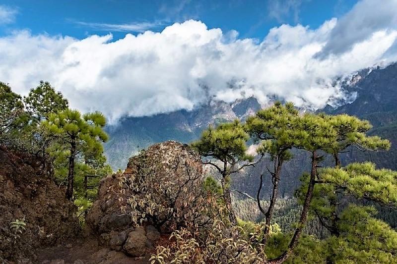 Canarian pine trees in Caldera de Taburiente