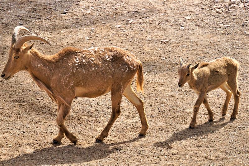 Goats in Fuerteventura