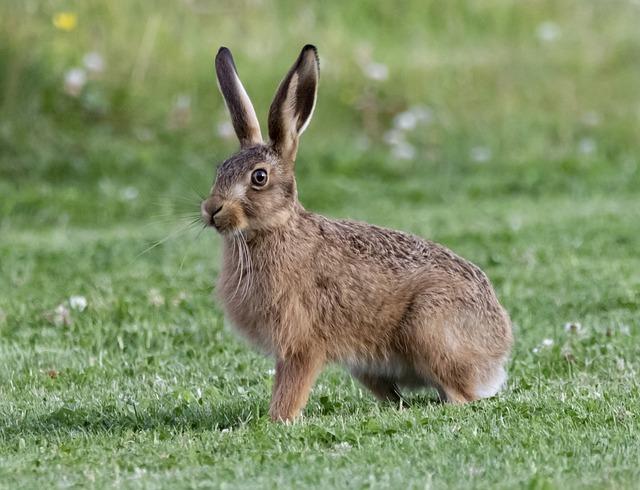 Mallorcan hare
