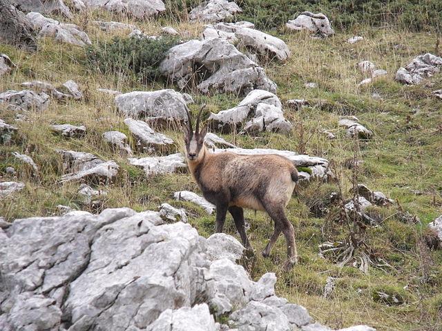 Pyrenean chamois