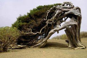 Juniper tree in El Hierro