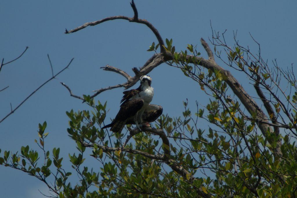 Canarian Osprey
