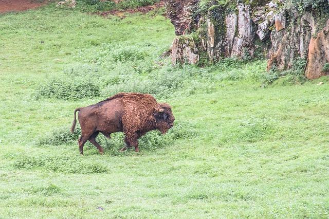 cabarceno park bison