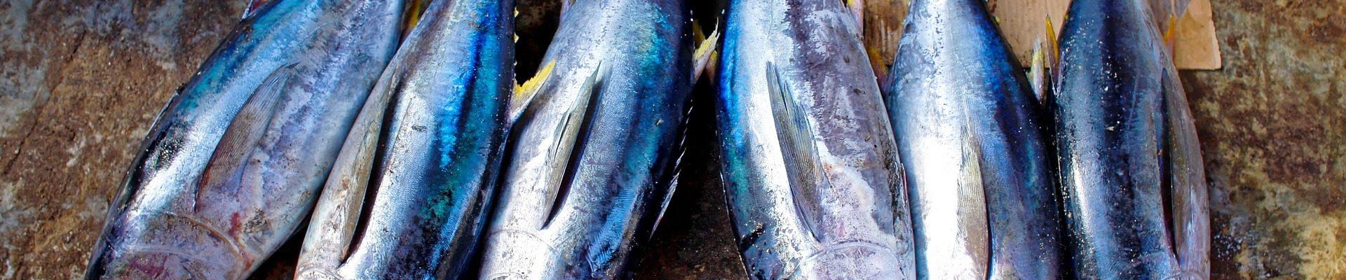 barbate tuna